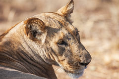 一只庄严雌狮的画象本质上,非洲 库存图片