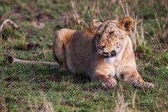 一只庄严雌狮的画象本质上说谎在草大草原的,非洲 图库摄影