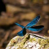 一只开放翼蓝色蜻蜓 免版税库存图片
