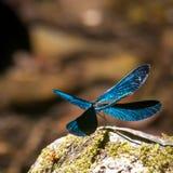 一只开放翼蓝色蜻蜓 图库摄影