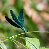 一只开放翼蓝色蜻蜓 免版税库存照片