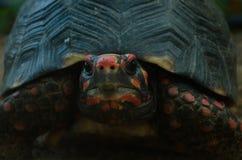 一只异乎寻常的乌龟的特写镜头 库存照片