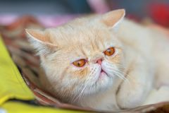 一只异乎寻常的Shorthair小猫的画象 免版税库存照片