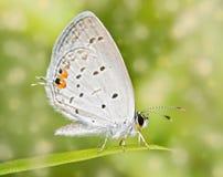 一只微小的东部被盯梢的蓝色蝴蝶的梦想的图象 免版税库存照片