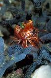 一只微小的明亮的橙色saron虾,印度尼西亚 库存照片
