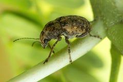 一只微小的甲虫的宏观照片 免版税库存图片