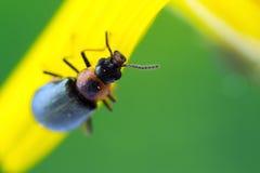 一只微小的红色和黑甲虫 免版税图库摄影
