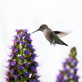 一只微小的逗人喜爱的蜂鸟 库存图片