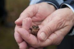 一只微小的青蛙的特写镜头在人` s手上在挪威 库存照片