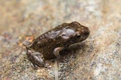 一只微小的青蛙, 1cm在大小上 免版税库存图片
