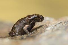 一只微小的青蛙, 1cm在大小上 库存图片