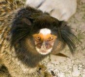 一只微小的猴子 库存照片
