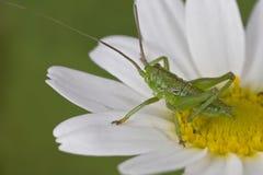 一只微小的绿色蚂蚱 库存图片