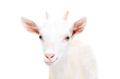 一只微笑的幼小山羊的画象 库存图片