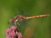 一只微笑的荒地蜻蜓的宏指令在花的 免版税库存图片