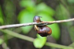 一只微笑的蜗牛攀登分支 免版税库存照片