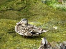 一只微笑的鸭子 库存图片