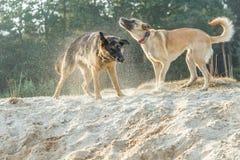 一只德国牧羊犬和一位拙劣的比利时牧羊人打在沙子的一场概略的比赛 图库摄影