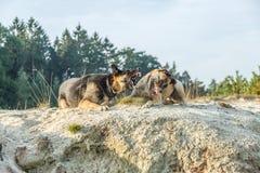 一只德国牧羊犬和一位拙劣的比利时牧羊人打在沙子的一场概略的比赛 免版税库存照片