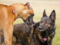 丹麦种大狗和德国牧羊犬伙计 库存图片