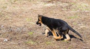 一只德国牧羊犬奔跑和戏剧的小狗 免版税库存图片