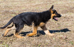 一只德国牧羊犬奔跑和戏剧的小狗 库存图片