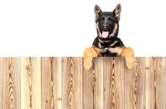 一只德国牧羊犬小狗的画象,偷看从篱芭的后面 免版税图库摄影