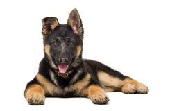 一只德国牧羊犬小狗的画象 免版税库存图片