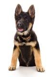 一只德国牧羊犬小狗的画象 库存照片
