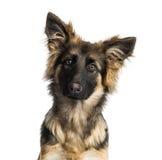 一只德国牧羊犬狗小狗的特写镜头, 4个月 免版税库存照片