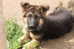 一只德国牧羊犬的小狗的画象 库存图片