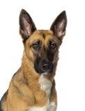 一只德国牧羊犬的特写镜头 库存图片