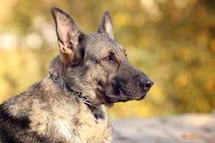 一只德国牧羊犬的秋天画象 库存图片