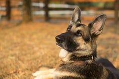 一只德国牧羊犬的画象休息 库存照片