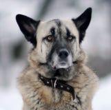 一只德国牧羊犬的画象有黑耳朵的 免版税库存照片