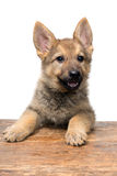 一只德国牧羊犬的画象 免版税库存照片