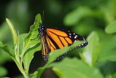一只总督蝴蝶的美丽的景色与惊人的标号的 库存图片