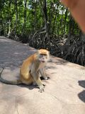 一只恼怒的猴子 免版税库存照片