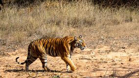 一只恼怒的老虎在森林里 库存照片