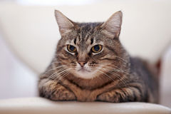 一只恼怒的重要镶边猫的画象 免版税库存图片