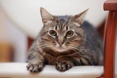 一只恼怒的镶边猫的画象与黄色眼睛的 免版税图库摄影