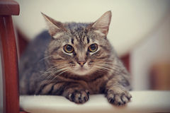 一只恼怒的镶边猫的画象与黄色眼睛的 免版税库存图片