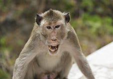 一只恼怒的猴子 免版税库存图片