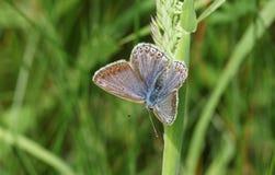 一只惊人的女性共同的蓝色蝴蝶Polyommatus栖息在草叶的艾卡罗计与它的翼传播的 图库摄影