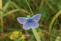 一只惊人的男性共同的蓝色蝴蝶Polyommatus栖息在草叶的艾卡罗计与它的翼传播的 图库摄影