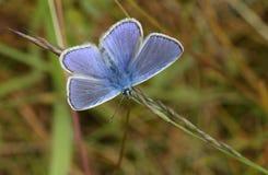一只惊人的男性共同的蓝色蝴蝶Polyommatus栖息在草叶的艾卡罗计与它的翼传播的 免版税图库摄影