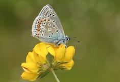 一只惊人的男性共同的蓝色蝴蝶Polyommatus栖息在鸟` s脚三叶草花莲花corniculatus的艾卡罗计 库存图片