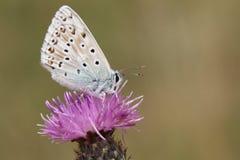 一只惊人的白垩小山蓝色蝴蝶, Polyommatus coridon的侧视图,栖息在花 免版税图库摄影