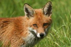 一只惊人的镍耐热铜狐狸狐狸的顶头射击 库存图片
