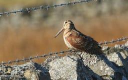 一只惊人的鸟鹬,鸟鹬类rusticola,坐一个石墙 那么很好被伪装能几乎不被看见 免版税库存照片